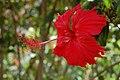 Hibiscus yercaud.jpg