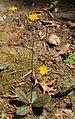 Hieracium venosum rattlesnake weed plant.jpg