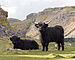 Highland cattle above Malham Cove.jpg