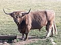 Highland cattle named Petras above Širvintos Lithuania 2020.jpg