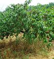 Hillview Farms peaches on a peach tree in mid-July.jpg