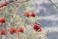 Himalayan Bulbul .jpg
