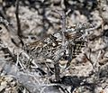 Hipparchia semele - Flickr - S. Rae (2).jpg