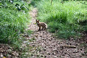 Hoge Veluwe National Park - A fox in the park