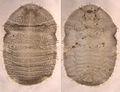 Holopsis oblonga larva.jpg