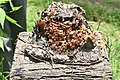 Honey bees with propolis and wax.jpg