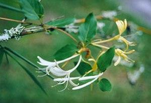 Caprifoliaceae - Lonicera japonica