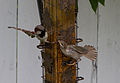 House Sparrows on bird feeder.jpg