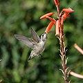 Hummingbird (41079581122).jpg