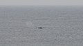 Humpback Whales (Megaptera novaeangliae) - Elliston, Newfoundland 2019-08-13 (01).jpg
