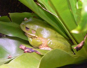 Ceruletide - The tree frog Litoria caerulae, formerly named Hyla caerulae.
