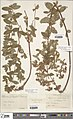 Hypericum x laschii (NHS).jpg