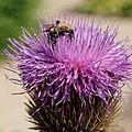 IMG 0026-Rhaponticum cynaroides.jpg