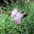 IMG 4282 Dianthus petraeus.jpg