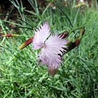 Dianthus petraeus