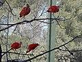 Ibis rouge (2363959720).jpg