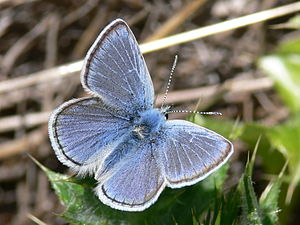 Habitat Conservation Plan - Endangered mission blue butterfly (Icaricia icarioides missionensis), protected by the San Bruno Mountain HCP.