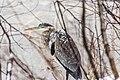 Ice Fishing Heron (23382095793).jpg