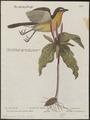 Icteria virens - 1700-1880 - Print - Iconographia Zoologica - Special Collections University of Amsterdam - UBA01 IZ16600287.tif