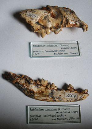 Ictitherium - Ictitherium robustum