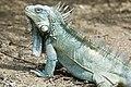 Iguana Iguana iguana (2446949771).jpg