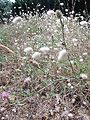 Ile d'Oléron fleurs matha - 2016b.jpg