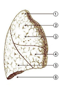 Base of lung - Image: Illu quiz lung 01