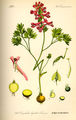 Illustration Corydalis digitata0.jpg