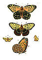 Illustrations of Exotic Entomology I 13.jpg