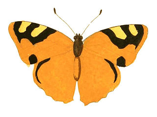 <i>Lucinia cadma</i> species of insect