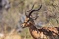 Impala (Aepyceros melampus), parque nacional de Chobe, Botsuana, 2018-07-28, DD 09.jpg