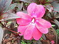 Impatiens hawkeri-yercaud-salem-India.JPG
