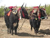The Tibetan yak is an integral part of Tibetan life.
