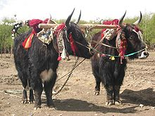 The Tibetan yak is an integral part of Tibetan life.