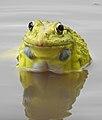 Indian Bullfrog Hoplobatrachus tigerinus by Dr. Raju Kasambe DSCN6470 07.jpg