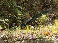 Indian Peacock in Corbett National Park.jpg
