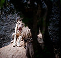 Indian White Tiger.jpg
