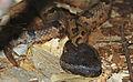 Indo-malayan Mountain Pitviper (Ovophis monticola convictus) (18085351724).jpg