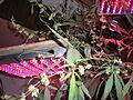 Indoor Hybrid Flowering Male Medical Cannabis.JPG