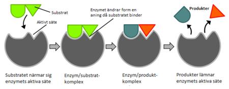 hur fungerar ett enzym