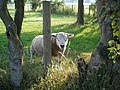 Inquisitive Sheep at Crosshill near Houghton - geograph.org.uk - 267162.jpg