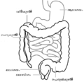 Intestine-diagram-ml.png