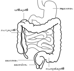 Intestine-diagram-ml.png