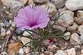 Ipomoea bolusiana -2396 - Flickr - Ragnhild & Neil Crawford.jpg