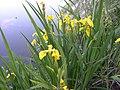 Iris pseudacorus-5-13-05.jpg