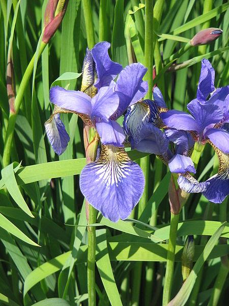File:Iris sibirica01.jpg