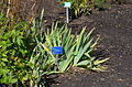 Iris x germanica botanical garden T.U.Delft in 2015 35.jpg