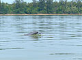 Irrawaddy Dolphin (Orcaella brevirostris) (15819619596).jpg