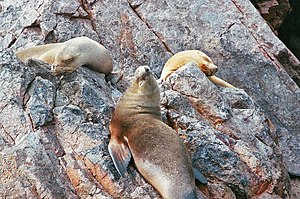 Ica Region - Sea Lions on the Ballestas Islands.