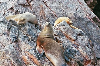 Department of Ica - Sea Lions on the Ballestas Islands.